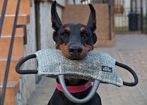 Smart Doberman Dog
