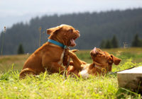 Dominant Behavior In Dogs